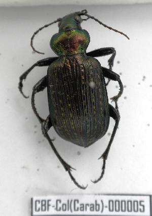 (Calamosa - CBF-Carab-000005)  @17 [ ] Copyright (2011) CBF Coleccion Boliviana de Fauna