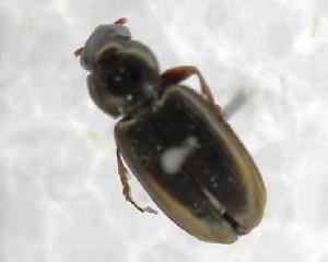 (Benbidina - CBF-Carab-000024)  @11 [ ] Copyright (2011) CBF Coleccion Boliviana de Fauna