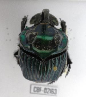 ( - CBF-Scarab-002163)  @11 [ ] Copyright (2011) CBF Colección Boliviana de Fauna