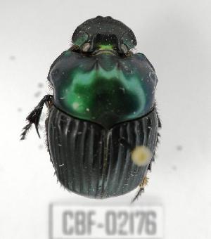 ( - CBF-Scarab-002176)  @11 [ ] Copyright (2011) CBF Coleccion Boliviana de Fauna