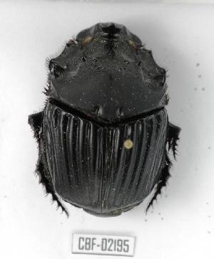 (Sulcophanaeus faunus - CBF-Scarab-002195)  @14 [ ] Copyright (2011) CBF Coleccion Boliviana de Fauna