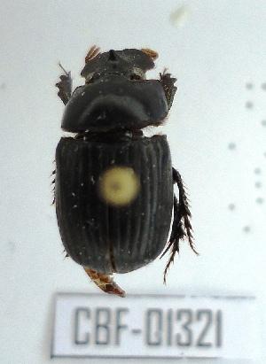 (Ontherus - CBF-Scarab-001321)  @13 [ ] Copyright (2011) CBF Colección Boliviana de Fauna