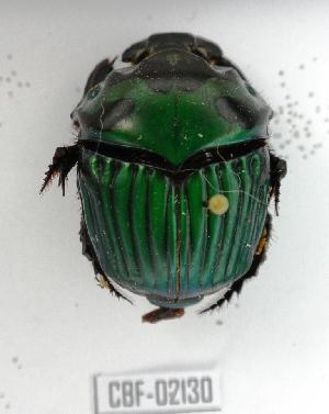 ( - CBF-Scarab-002130)  @11 [ ] Copyright (2011) CBF Colección Boliviana de Fauna
