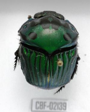 ( - CBF-Scarab-002139)  @13 [ ] Copyright (2011) CBF Colección Boliviana de Fauna