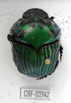 ( - CBF-Scarab-002142)  @11 [ ] Copyright (2011) CBF Colección Boliviana de Fauna