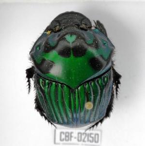 ( - CBF-Scarab-002150)  @11 [ ] Copyright (2011) CBF Coleccion Boliviana de Fauna