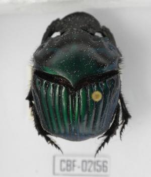 ( - CBF-Scarab-002156)  @13 [ ] Copyright (2011) CBF Coleccion Boliviana de Fauna