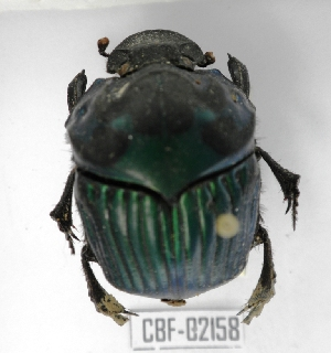 ( - CBF-Scarab-002158)  @11 [ ] Copyright (2011) CBF Colección Boliviana de Fauna