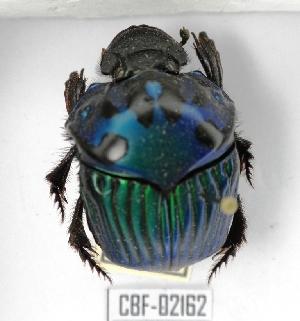 ( - CBF-Scarab-002162)  @11 [ ] Copyright (2011) CBF Colección Boliviana de Fauna