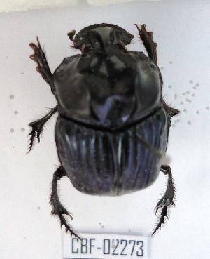 (Sulcophanaeus batesi - CBF-Scarab-002273)  @11 [ ] Copyright (2011) CBF Colección Boliviana de Fauna