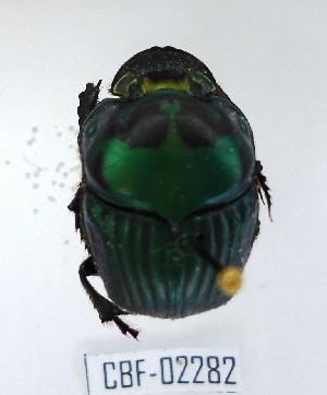 (Oxysternon palaemon - CBF-Scarab-002282)  @11 [ ] Copyright (2011) CBF Coleccion Boliviana de Fauna