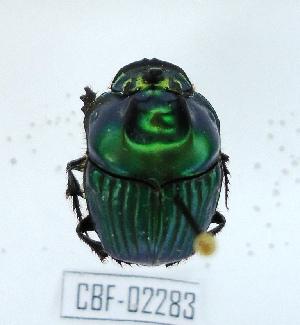 (Oxysternon palaemon - CBF-Scarab-002283)  @11 [ ] Copyright (2011) CBF Colección Boliviana de Fauna