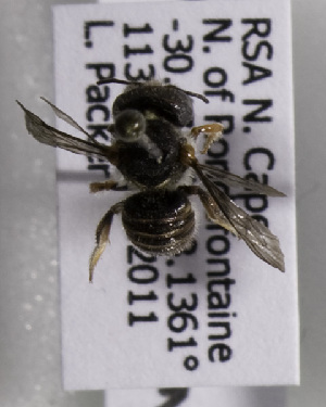 (Afranthidium haplogastrum - CCDB-15278 A07)  @13 [ ] CreativeCommons - Attribution Non-Commercial Share-Alike (2011) Packer Collection York University York University