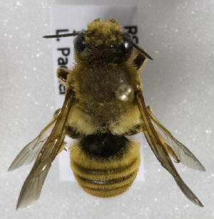 (Megachile redone - CCDB-15281 F02)  @11 [ ] CreativeCommons - Attribution Non-Commercial Share-Alike (2011) Packer Collection York University York University