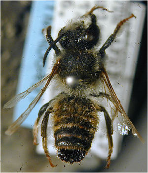 (Megachile dorsata - MegBOL 0011)  @11 [ ] by-nc-sa - Creative Commons - Attribution Non-Comm Share-Alike (2011) Connal Eardley ARC-Plant Protection Research Institute