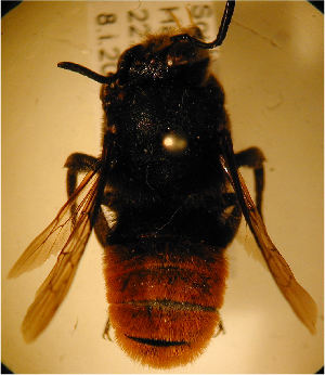 (Megachile cincta - MegBOL 0021)  @13 [ ] CreativeCommons - Attribution Non-Commercial Share-Alike (2011) Connal Eardley ARC-Plant Protection Research Institute