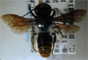 (Megachile sheppardi - MegBOL 0031)  @11 [ ] by-nc-sa - Creative Commons - Attribution Non-Comm Share-Alike (2011) Connal Eardley ARC-Plant Protection Research Institute