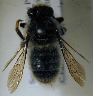 (Megachile karooensis - MegBOL 0032)  @12 [ ] CreativeCommons - Attribution Non-Commercial Share-Alike (2011) Connal Eardley ARC-Plant Protection Research Institute
