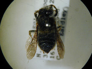 (Megachile murina - MegBOL 0034)  @11 [ ] by-nc-sa - Creative Commons - Attribution Non-Comm Share-Alike (2011) Connal Eardley ARC-Plant Protection Research Institute