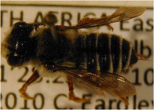 (Megachile willowmorensis - MegBOL 0040)  @11 [ ] CreativeCommons - Attribution Non-Commercial Share-Alike (2011) Connal Eardley ARC-Plant Protection Research Institute