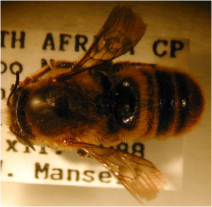 (Megachile fulvohirta - MegBOL 0043)  @11 [ ] CreativeCommons - Attribution Non-Commercial Share-Alike (2011) Connal Eardley ARC-Plant Protection Research Institute
