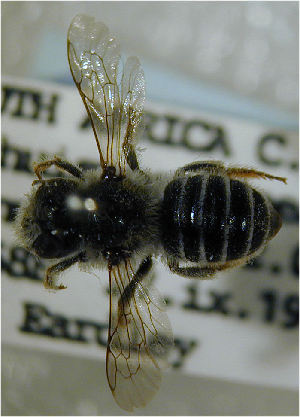 (Megachile whiteana - MegBOL 0047)  @11 [ ] by-nc-sa - Creative Commons - Attribution Non-Comm Share-Alike (2011) Connal Eardley ARC-Plant Protection Research Institute