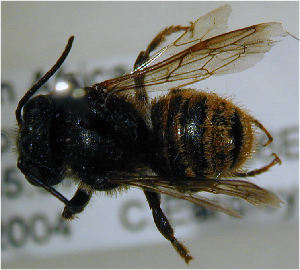 (Megachile fervida - MegBOL 0052)  @12 [ ] CreativeCommons - Attribution Non-Commercial Share-Alike (2011) Connal Eardley ARC-Plant Protection Research Institute