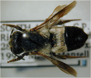(Megachile nasicornis - MegBOL 0054)  @11 [ ] CreativeCommons - Attribution Non-Commercial Share-Alike (2011) Connal Eardley ARC-Plant Protection Research Institute