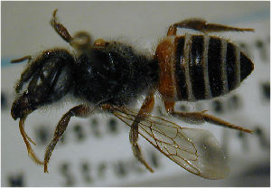 (Megachile louisae - MegBOL 0057)  @11 [ ] by-nc-sa - Creative Commons - Attribution Non-Comm Share-Alike (2011) Connal Eardley ARC-Plant Protection Research Institute