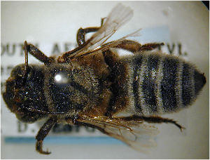 (Megachile mossambica - MegBOL 0062)  @11 [ ] by-nc-sa - Creative Commons - Attribution Non-Comm Share-Alike (2011) Connal Eardley ARC-Plant Protection Research Institute