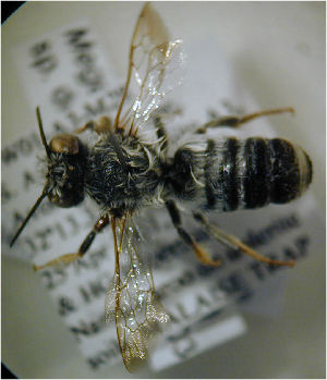 (Megachile serraticauda - MegBOL 0065)  @11 [ ] CreativeCommons - Attribution Non-Commercial Share-Alike (2011) Connal Eardley ARC-Plant Protection Research Institute