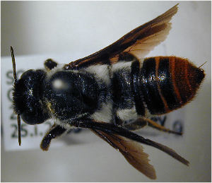 (Megachile sinuata - MegBOL 0066)  @11 [ ] CreativeCommons - Attribution Non-Commercial Share-Alike (2011) Connal Eardley ARC-Plant Protection Research Institute