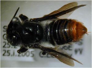 (Megachile nasalis - MegBOL 0072)  @11 [ ] by-nc-sa - Creative Commons - Attribution Non-Comm Share-Alike (2011) Connal Eardley ARC-Plant Protection Research Institute