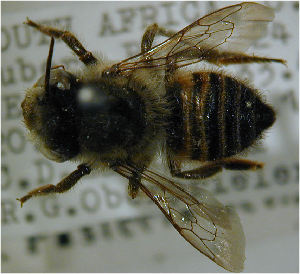 (Megachile ungulata - MegBOL 0076)  @11 [ ] by-nc-sa - Creative Commons - Attribution Non-Comm Share-Alike (2011) Connal Eardley ARC-Plant Protection Research Institute
