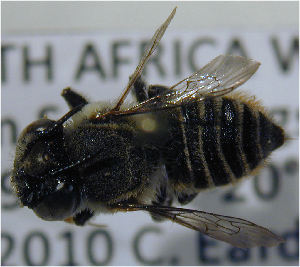 (Megachile malangensis - MegBOL 0078)  @11 [ ] CreativeCommons - Attribution Non-Commercial Share-Alike (2011) Connal Eardley ARC-Plant Protection Research Institute