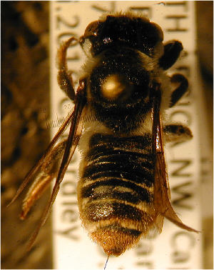 (Megachile seewaldi - MegBOL 0008)  @11 [ ] CreativeCommons - Attribution Non-Commercial Share-Alike (2011) Connal Eardley ARC-Plant Protection Research Institute