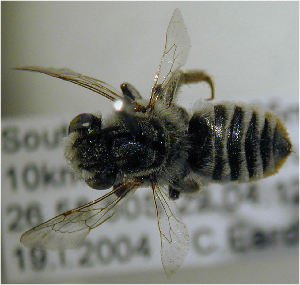 (Megachile frontalis - MegBOL 0092)  @12 [ ] CreativeCommons - Attribution Non-Commercial Share-Alike (2011) Connal Eardley ARC-Plant Protection Research Institute