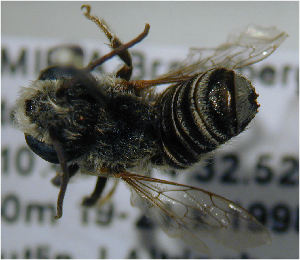 (Megachile admixta - MegBOL 0094)  @11 [ ] CreativeCommons - Attribution Non-Commercial Share-Alike (2011) Connal Eardley ARC-Plant Protection Research Institute
