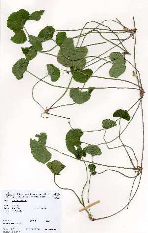 (Centella - LTM030)  @11 [ ] No Rights Reserved  Unspecified Unspecified