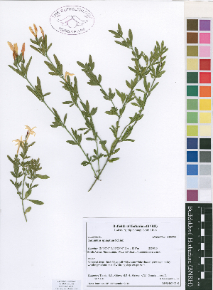 (Jasminum quinatum - Turpin416)  @11 [ ] No Rights Reserved  Unspecified Unspecified