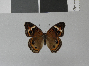 (Junonia evarete dougueti - LCB0004)  @13 [ ] Copyright (2011) Christian Brevignon Research collection of L. and C. Brevignon