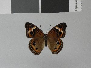 (Junonia evarete - LCB0004)  @13 [ ] Copyright (2011) Christian Brevignon Research collection of L. and C. Brevignon