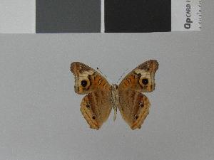 (Junonia genoveva genoveva - LCB0008)  @12 [ ] Copyright (2011) Christian Brevignon Research collection of L. and C. Brevignon