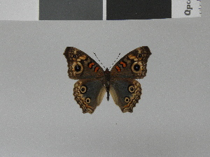 (Junonia divaricata divaricata - LCB0013)  @12 [ ] Copyright (2011) Christian Brevignon Research collection of L. and C. Brevignon