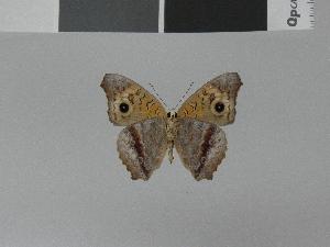 (Junonia divaricata - LCB0013)  @12 [ ] Copyright (2011) Christian Brevignon Research collection of L. and C. Brevignon