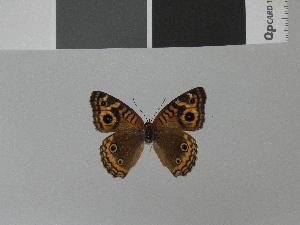 (Junonia divaricata - LCB0015)  @12 [ ] Copyright (2011) Christian Brevignon Research collection of L. and C. Brevignon