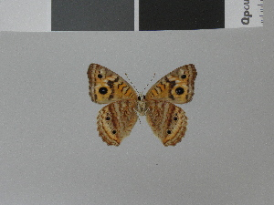 (Junonia divaricata divaricata - LCB0015)  @12 [ ] Copyright (2011) Christian Brevignon Research collection of L. and C. Brevignon