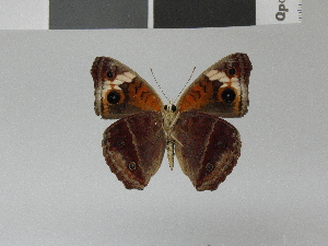 (Junonia wahlbergi - LCB0018)  @13 [ ] Copyright (2011) Christian Brevignon Research collection of L. and C. Brevignon