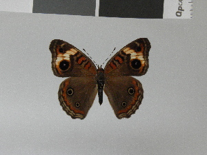(Junonia wahlbergi - LCB0024)  @13 [ ] Copyright (2011) Christian Brevignon Research collection of L. and C. Brevignon