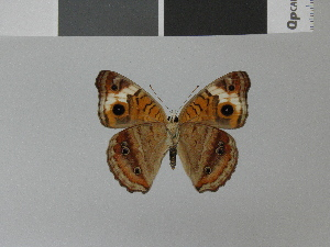 (Junonia wahlbergi - LCB0024)  @13 [ ] Copyright (2011) Christian Brevignon Research collection of L. and C. Brevignon